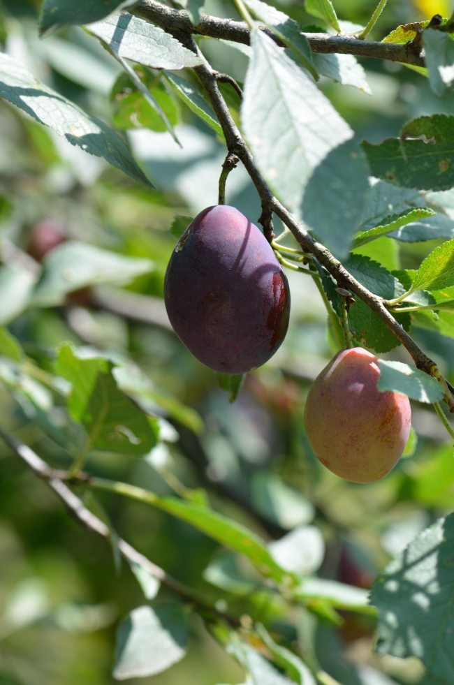 Plums in the Sun