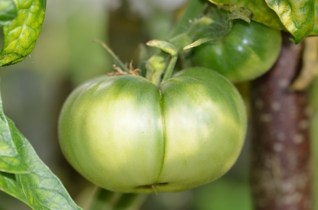 An Unripe Tomato on a Branch - Close-Up