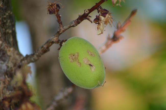 A Green Peach Fruit Growing