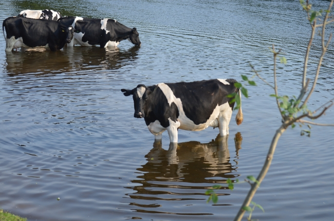 Black Cows with White Spots Drinking Water