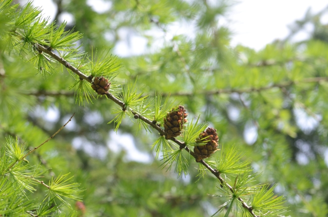 Branch of Pine Tree with Cones