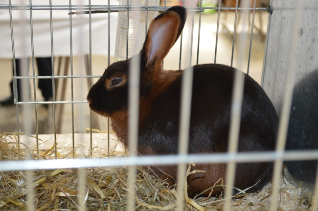 Breed Bunny in Cage