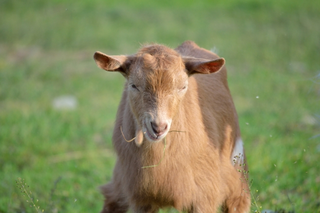 Brown Goat Grazing on Field