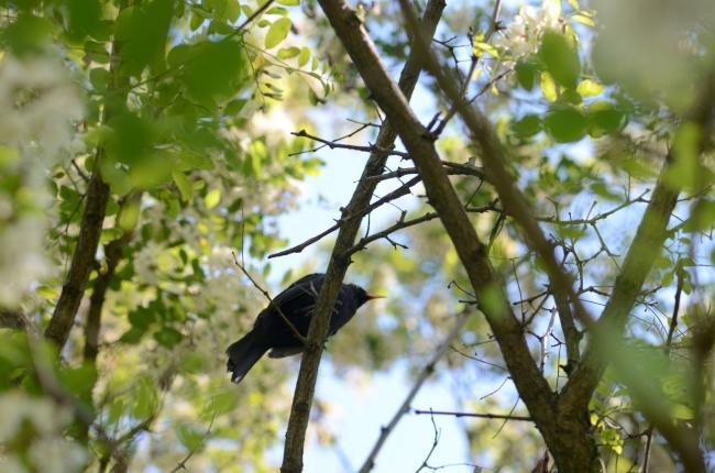 Common Blackbird on Blossoming Acacia Bush