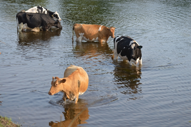 Cows Drinking Water from the River