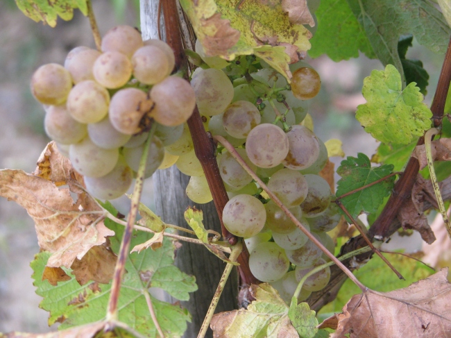 Grapes and Vine Leaves in the Autumn