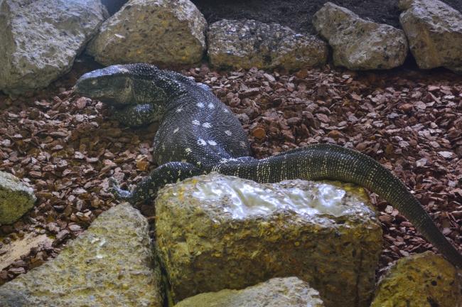 Large Reptile on Rocks