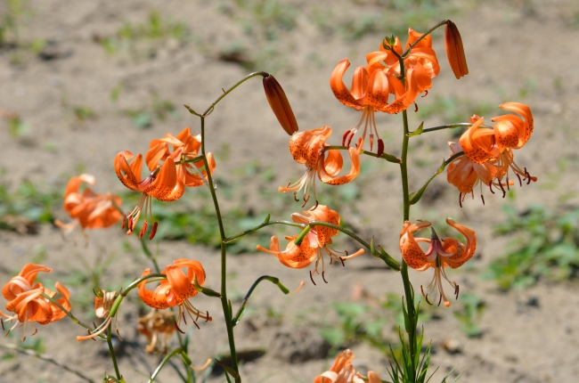 Orange and Black Tiger Lily Flowers