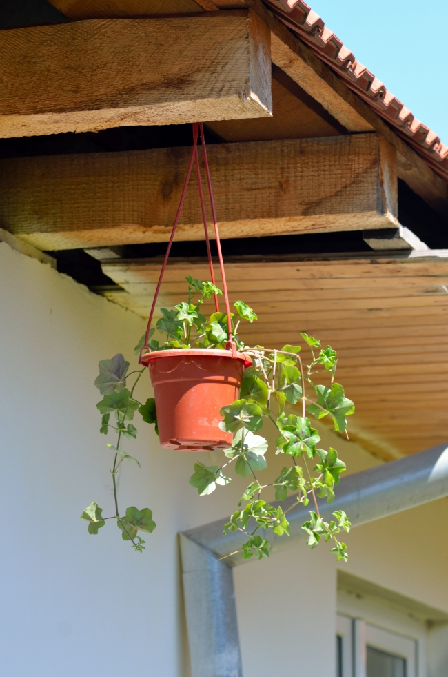 Geranium Plant in Hanging Pot