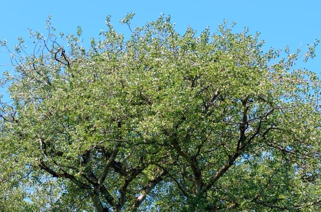 Tree Crown against Blue Sky