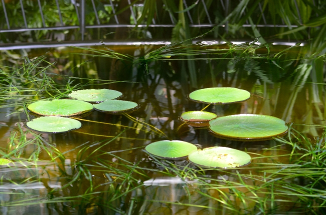 Water Lily Leaves and Aquatic Grasses