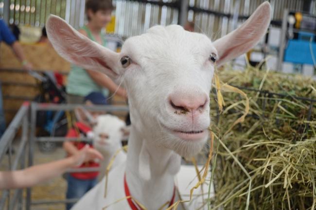 White Goat in Pen