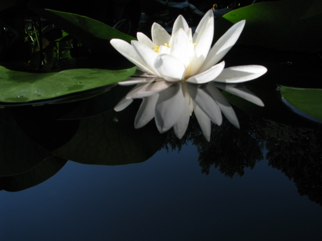White Water Lilly Flower on Still Water