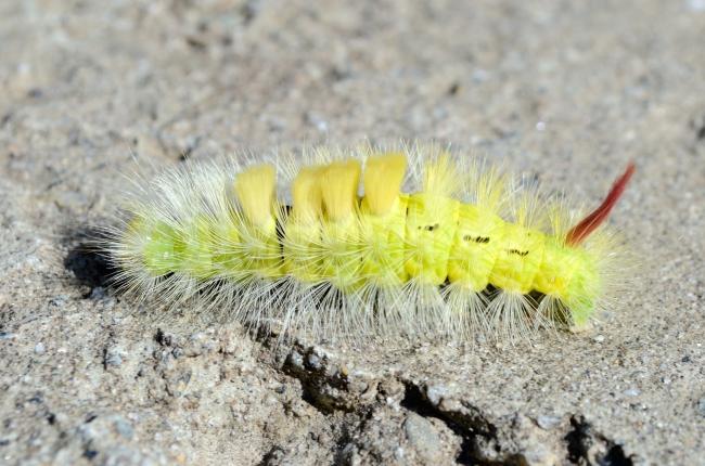 Yellow Caterpillar