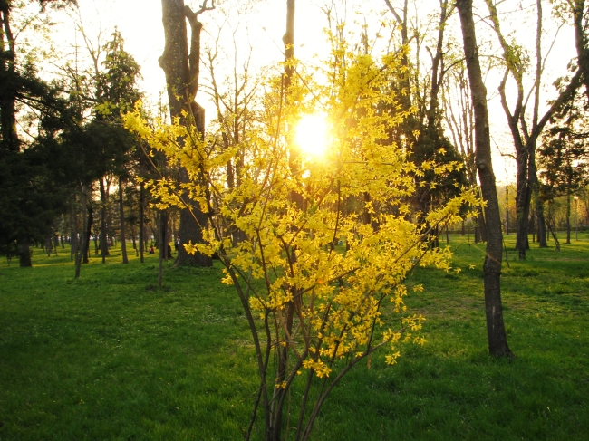 Yellow Forsythia Shrub in the Park