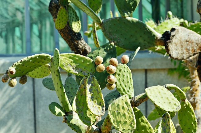 Prickly Pears Growing on a Cactus Plant